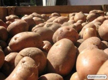 Продам крупный домашний картофель оптом