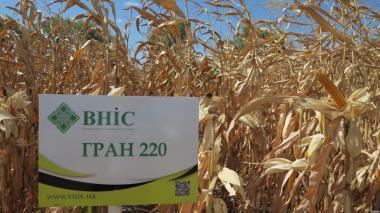 Семена Кукурузы Гран 220 ФАО 210 напрямую от ВНИС