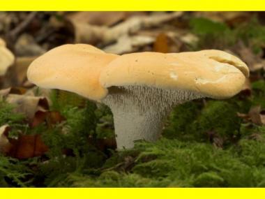 Міцелій Їжовика жовтого / Їжовик виїмчастий (Hydnum repandum)