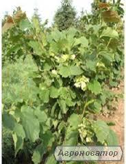 Фундук,вегетативные отводки