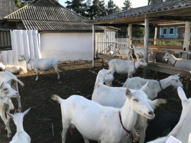 Продам дійне стадо зааненських кіз