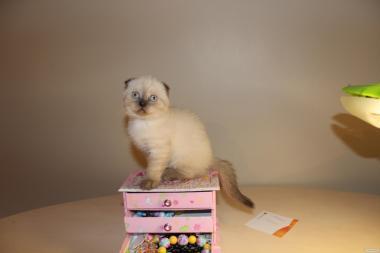 Продаж і резерв шотландських кошенят колор поінт !