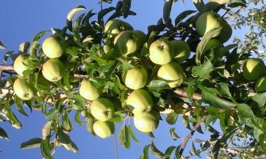 Продам яблука сорт Голден Рейнджерс Калібр 7+ ,8+. Без градобоя і парш