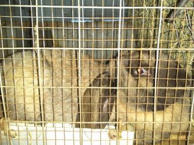 Продам самку французский баран мадагаскар