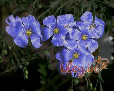 Льон посівної, або звичайний (Linum usitatissimum L.) 500 грам
