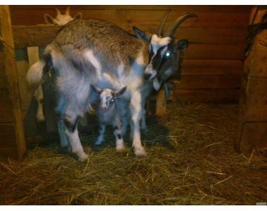 Продаю дійна коза з козенятами(від породистих народить