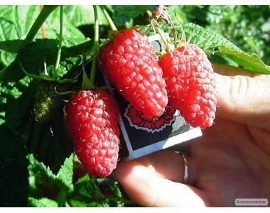 Саженцы крупноплодной малины сорта Мираж,отличного качества.