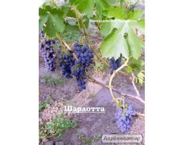 продам виноград шарлотта і ася