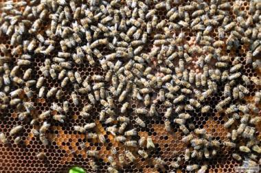 Продам бджолосім'ї (багато)