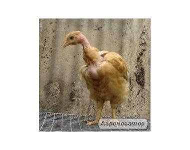 Оптом и в розницу цыплята породы испанка (голошейка)