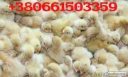 Продаем суточные перепела породы Белый Техасский (бройлерный) 1 – 5 дн