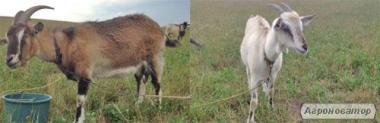 Продам козочку 8 мес, и козу, 1 год 8 месяцев