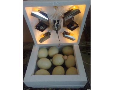 Страусине яйце інкубаційне