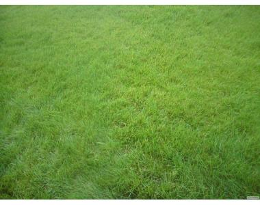 Газонна трава для України