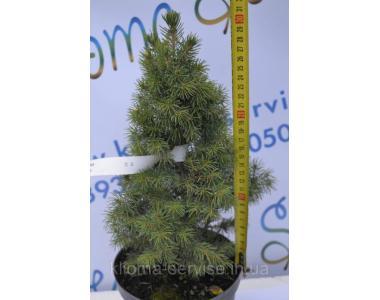 Ель канадская Коника Conica 30-35см. (С2)