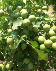 Продам саджанці грецького горіха. Сорт Сhandler, Бронь осінь 2017