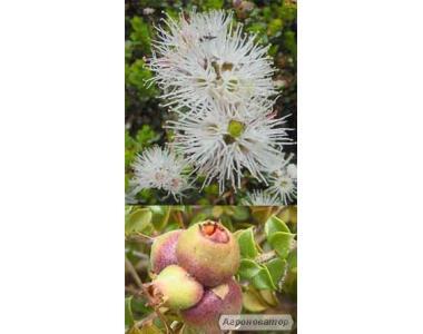 Кунцея яблоконосная,  Kunzea pomifera