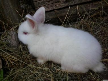 Продам кроликів каліфорнійських, новозеландських і простячків