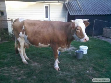 Продам добру молоду корову