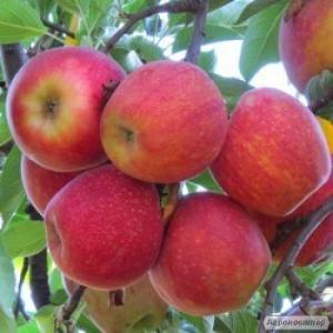 Продам яблука різних сортів