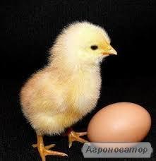 Яйце інкубаційне бройлера КОББ-500