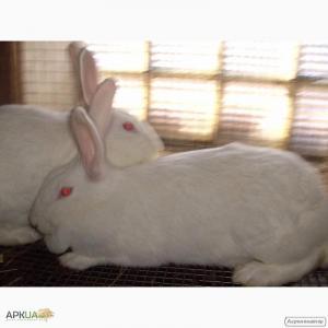 Кролики породы Белая Термонска