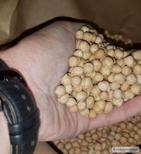 Семена нута HOPE(элит) - канадский ярый трансгенный сорт