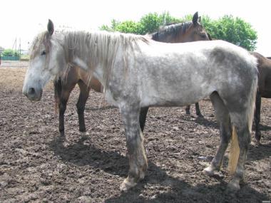 Продается темно - серая русская рысистая кобыла 2011 г.р.