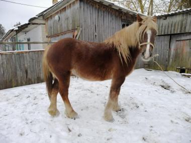 Продам коней ваговозів