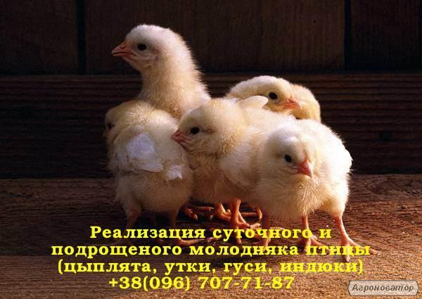 Подрощенный бройлер РОСС 308, КОББ 500