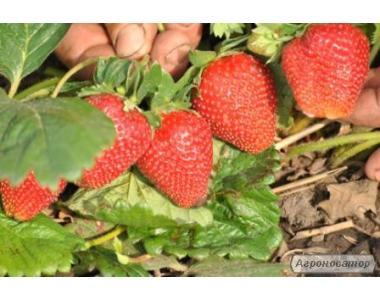 саженци и ягода клубники