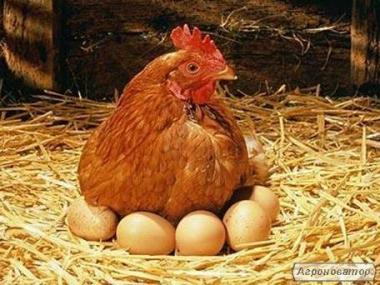 Курчата породи