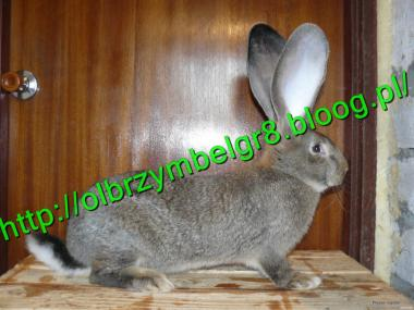 Кролики м'ясо-шкуркових порід Сірий велетень
