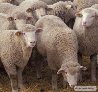 Продам овець породи прекос.