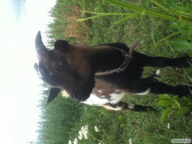 Карликовый камерунский козлик 1 год