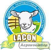 Продам племенных овец французской молочной породы ЛАКОН (lacaune).