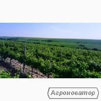 Продам виноград Каберне,Мерло