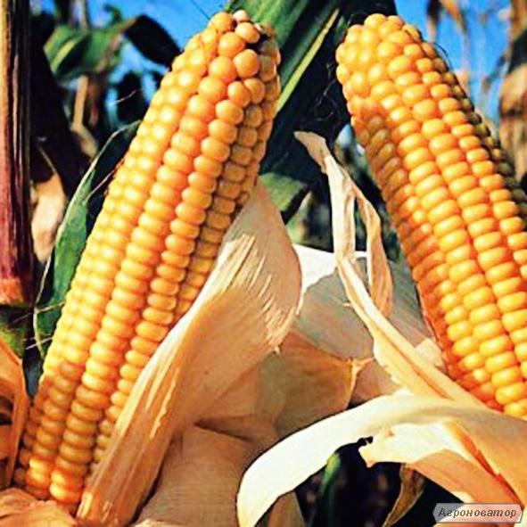 Семена кукурузы гибрида Любaва 279 МВ  (F1) от производителя