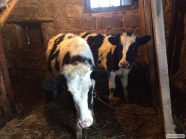 Телки черно-пестрой породы от висопродуктивних крупных коров