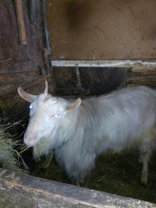 распродаю коз