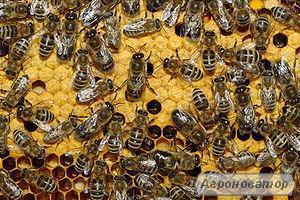 Продам высокопродуктивных пчел от лучших маток укр.степной породы.