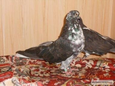 Продам голубей серпасто-выворотных