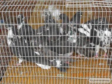 Продам голубів серпасто-выворотных