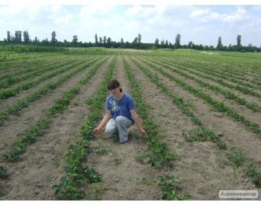 Продаж розсади суниці