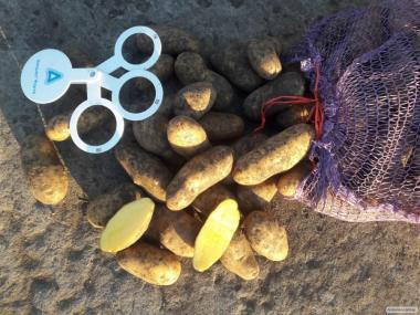 Фермерське господарство реалізує картоплю сортра ТОСКАНА