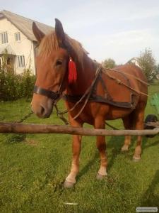 Лошак 2 роки