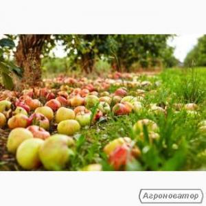 Закуповуємо яблука на переробку