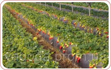 Технология выращивания земляники в теплицах,гидропоника,открытый грунт