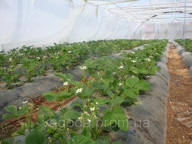 Технологія вирощування суниці в теплицях,гідропоніка,відкритий грунт