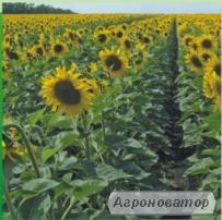 Семена подсолнечника НС Имисан экстра (евро-лайтинг)
